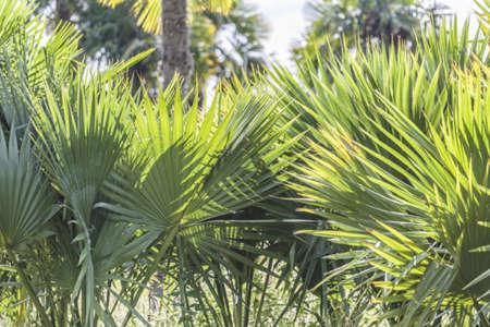 Sabal-hybrides