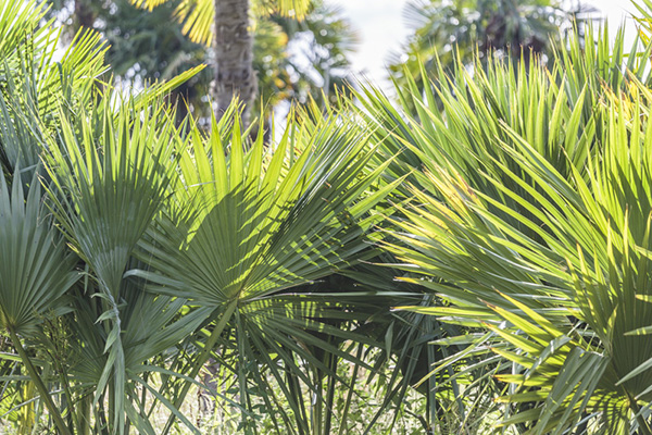 Sabal hybride de notre production, Sabal brazoria alias Sabal bermudana