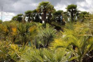 Palmiers en production