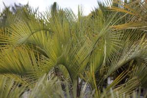 palmier du Paraguay, Butia paraguayensis