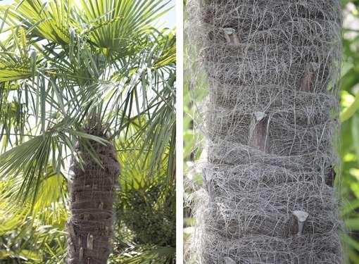 Diptyque de palmier 'Yéti', de notre production