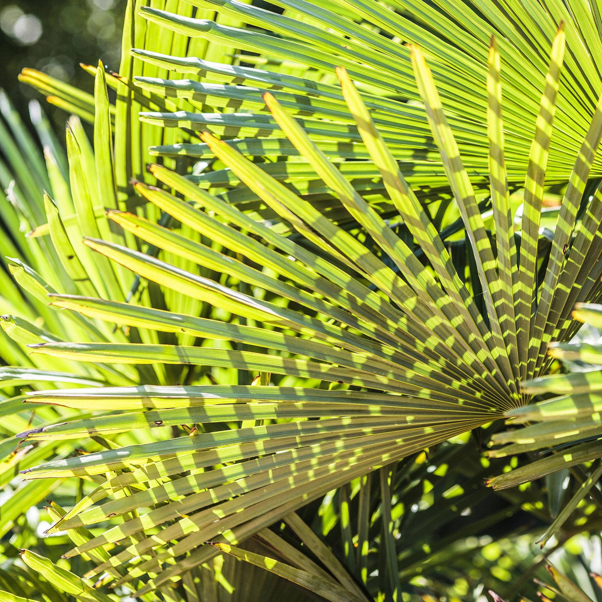 Effet de lumière sur des feuilles de palmier Trachycarpus