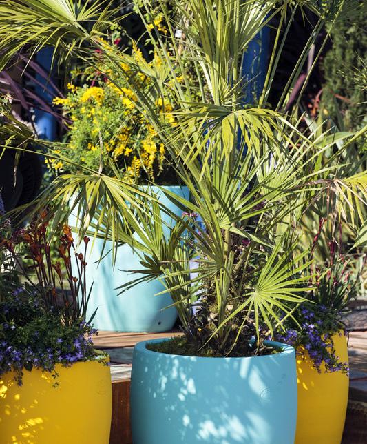 Palmier doum en pot