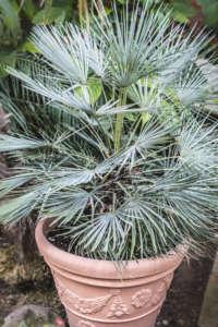 palmier doum bleu (chamaerops humilis 'Cerifera') en pot