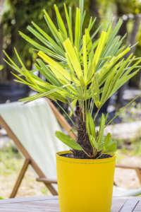 Palmier à aiguilles en pot