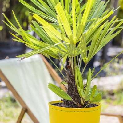 Palmier à aiguilles en pot, Rhapidophyllum hystrix, palmier porc-épic