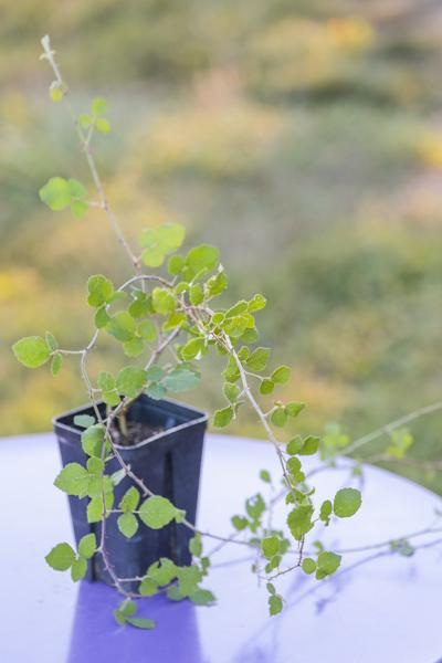 Rubus sanctus de notre production