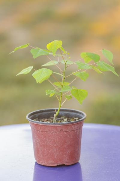 plant d'érythrine herbacea de notre production