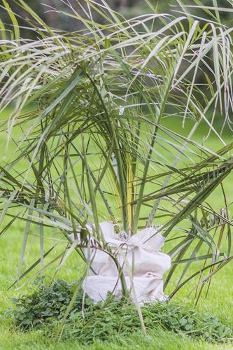 Protection d'un palmier Butia