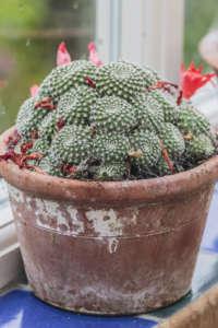 cactus Rebutia krainziana
