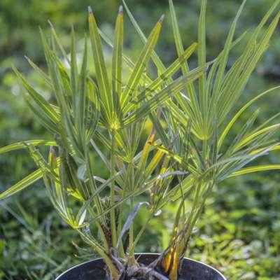 Palmier scie, Serenoa repens bleu