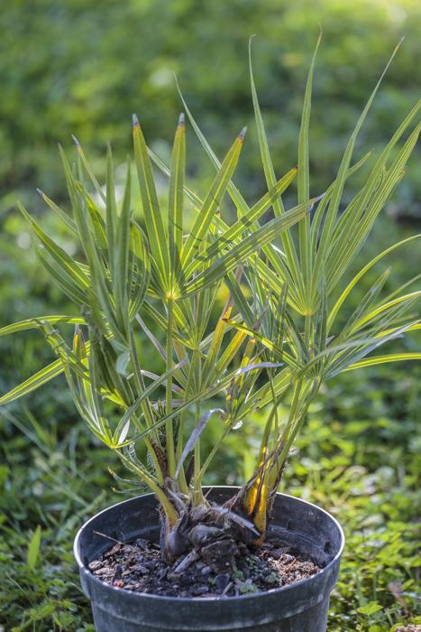 palmier scie de floride serenoa repens bleut palmiers et compagnie. Black Bedroom Furniture Sets. Home Design Ideas