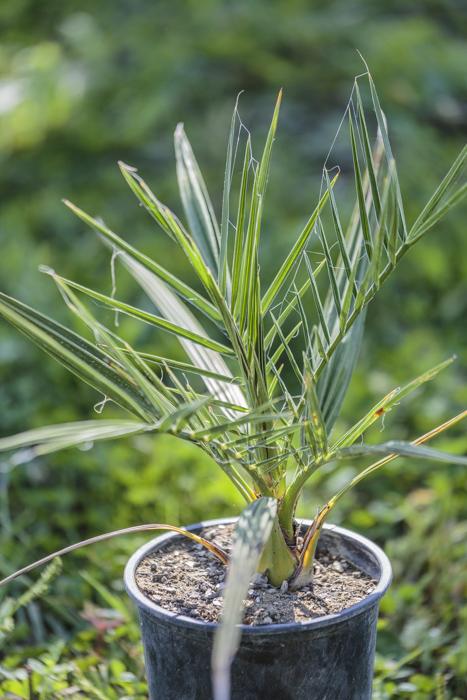 Photo de plant de palmier dattier de Crête de notre production