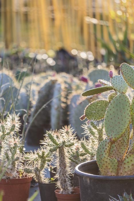 cactus au soleil couchant