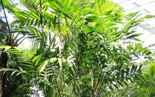 Palmier bambou, Chamaedorea microspadix
