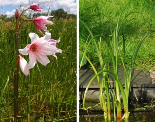 Photo de bulbe aquatique, Crinum campanulatum