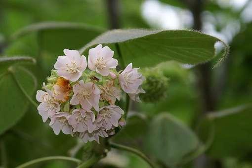 arbre au caramel, Dombeya natalensis