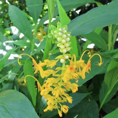 fleur de Globba racemosa