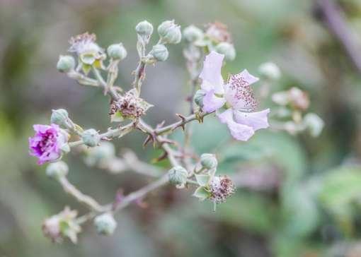 fleur de ronce sainte, Rubus sanctus
