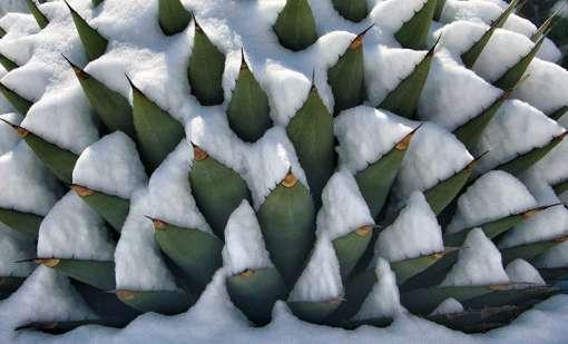 Agave montana en hiver sous la neige