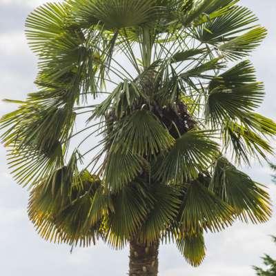 Portrait de Trachycarpus x takagii, un palmier hybride