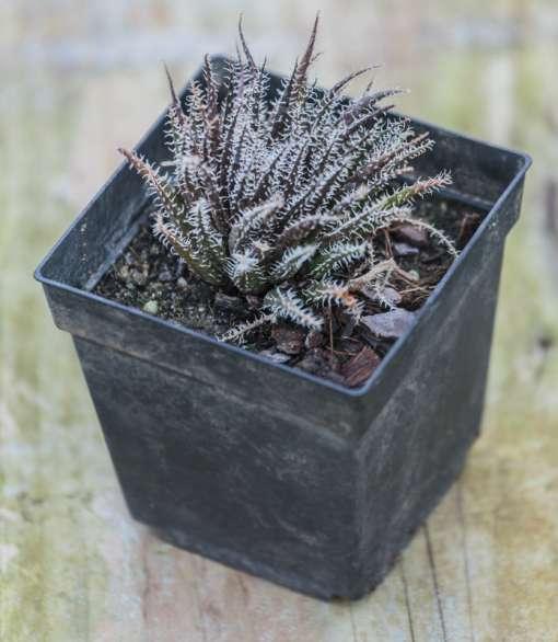 Aloe haworthioides de notre production
