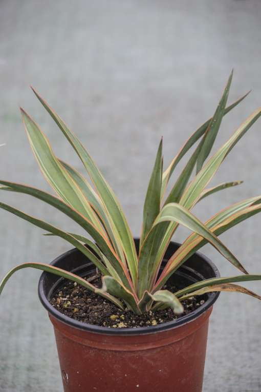 Yucca tricolore, Yucca gloriosa 'Variegata'