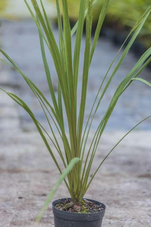Cordyline australis de notre production