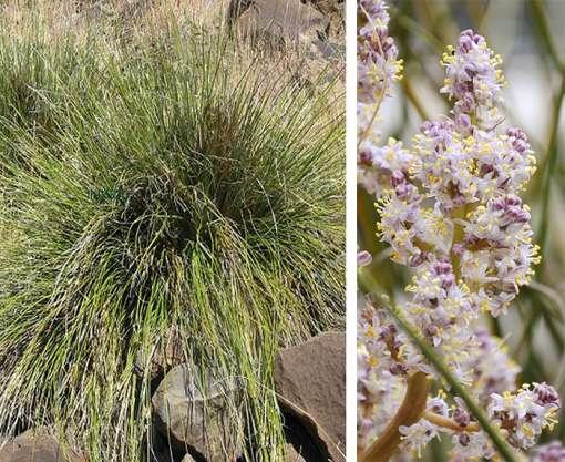 Feuillage et fleur de Nolina greenei, l'herbe aux ours