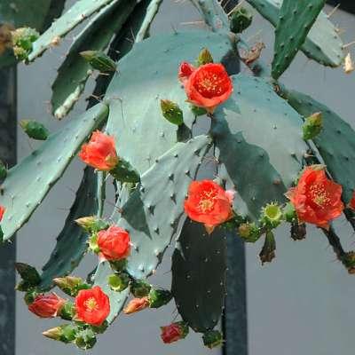 Opuntia bergeriana en pleine fleur