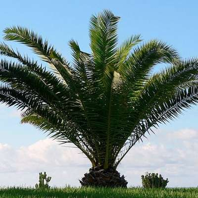 Palmier des Canaries, palmier ananas, Phoenix canariensis