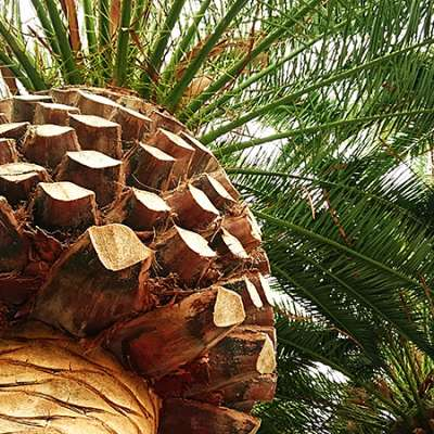 Phoenix canariensis palmier ananas
