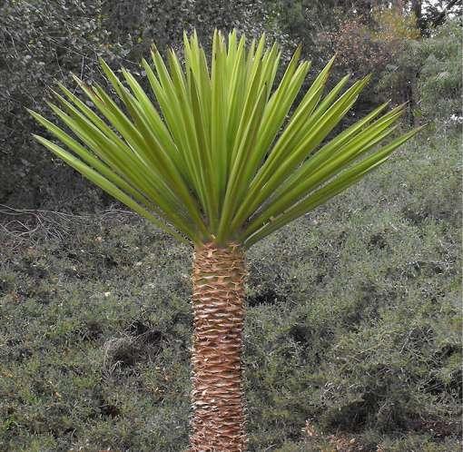 Yucca faxoniana après nettoyage des feuilles