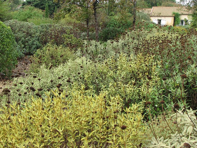 phlomis arbustif en automne
