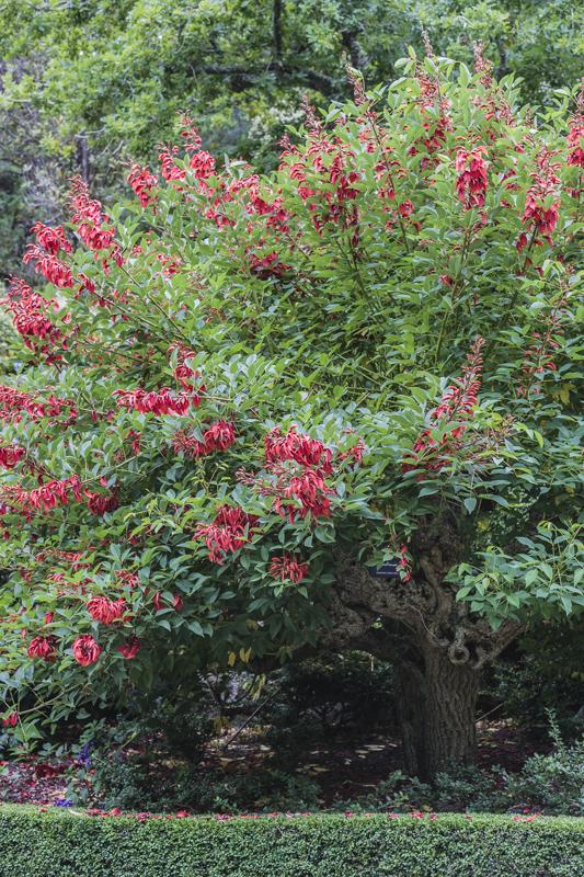 Crête-de-coq en fleurs (arbre corail)