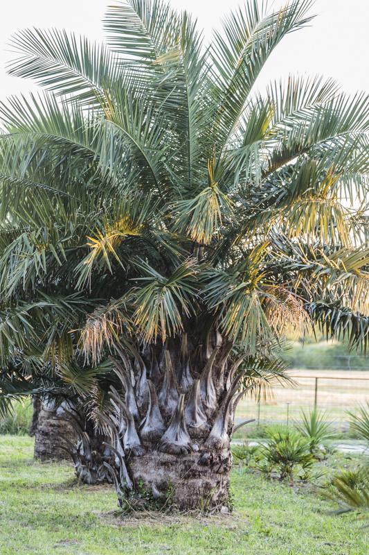 Cocotier du Chili de taille exceptionnelle