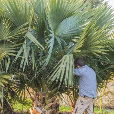 Examen d'un Sabal bermudana de grande taille