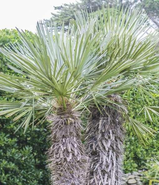 palmier Trithrinax campestris