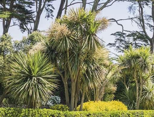 cordyline australis - cordyline de jardin