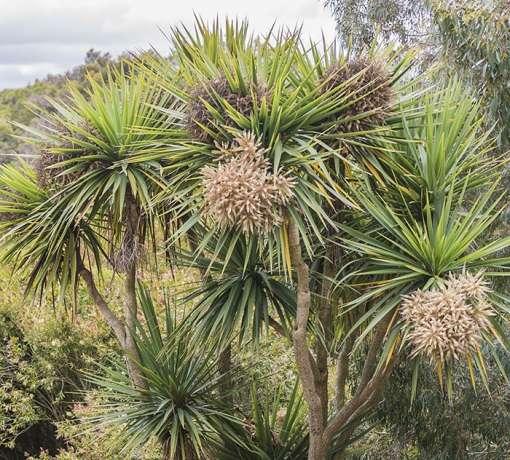 cordyline australis, cordyline de jardin