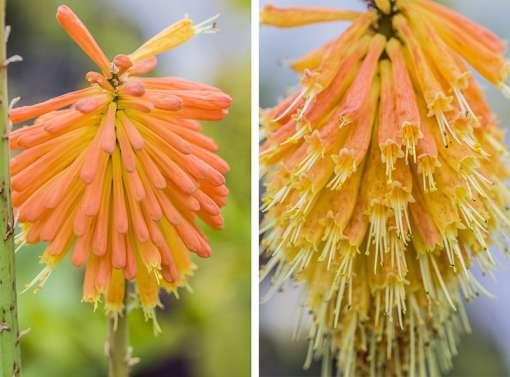 Kniphofia fluviatilis, tison du diable aquatique, en fleurs