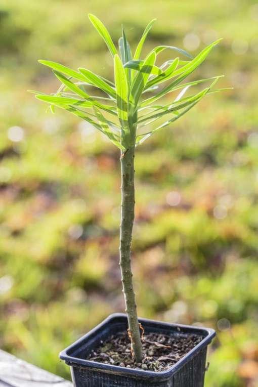 Euphorbia atropurpurea en pot