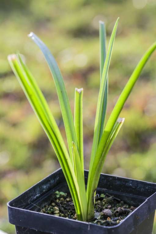 Kniphofia fluviatilis en pot