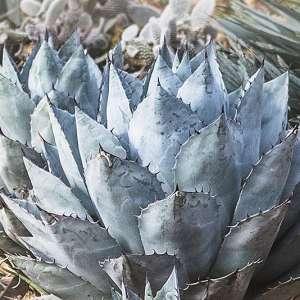 Agave parryi, agave de Parry