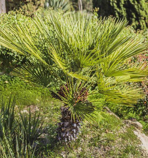 Chamaerops humilis Stipunic, palmier doum à tronc unique de notre sélection.