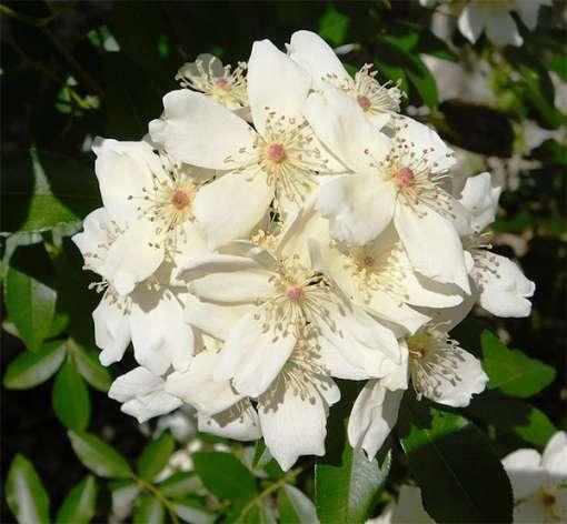 Rosa soulieana, rose du Père Soulié