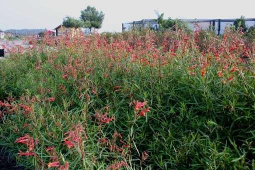 Lobelia laxiflora en fleurs