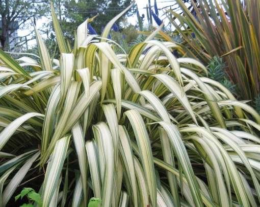 Photo de lin de nouvelle-Zélande, Phormium cookianum hookeri Cream Deligh