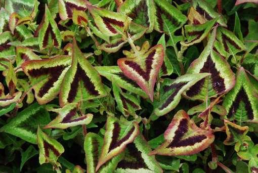Photo de renouée fer de lance ou Persicaire hallebarde (Polygonum runcinatum)