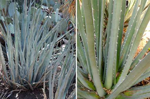 Photo d'agave albomarginata